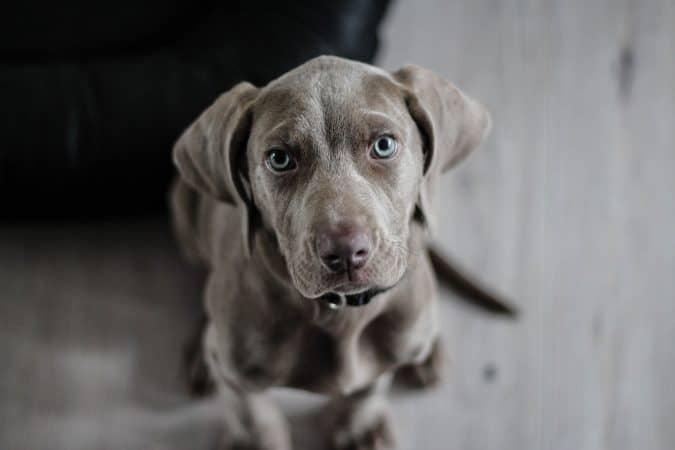 Cute Bull Dog