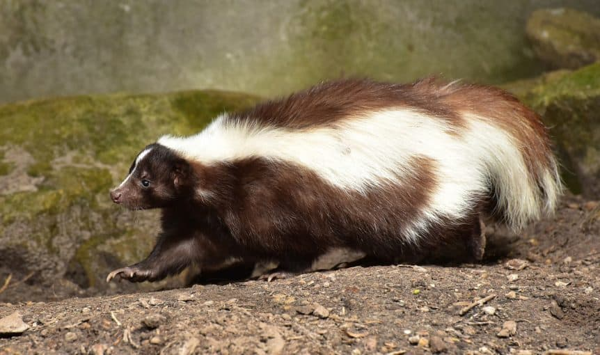 Tips To Deter Skunks While Camping