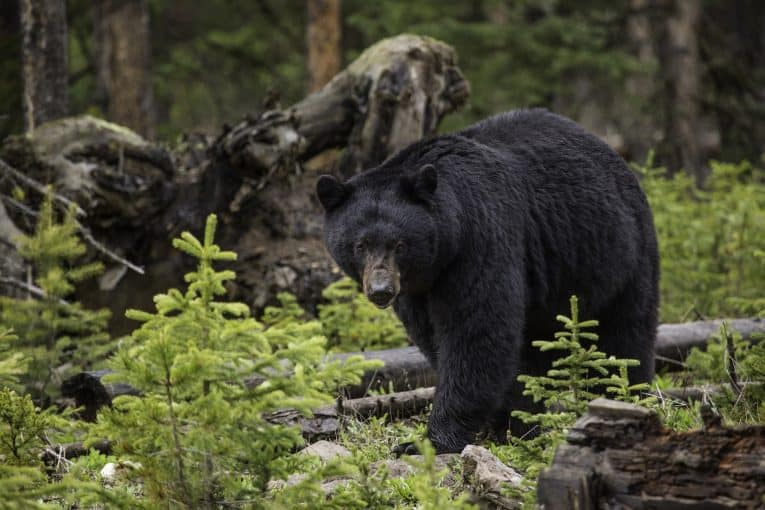 Black Bear Camping